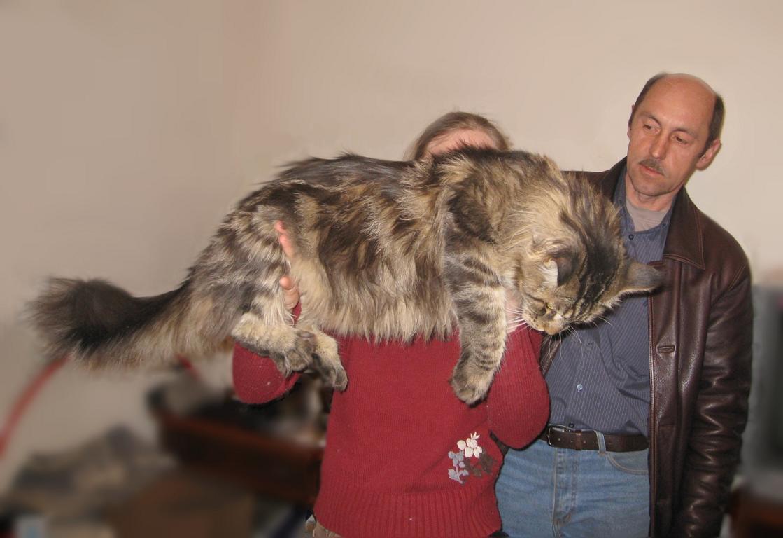 мейн кун кот с человеком фото